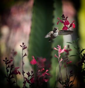 Hummingbird in Cactus Garden