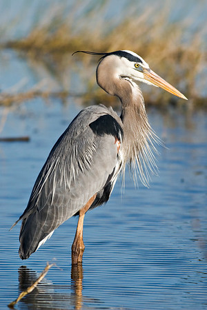 Great Blue Heron at the Vierra Wetlands