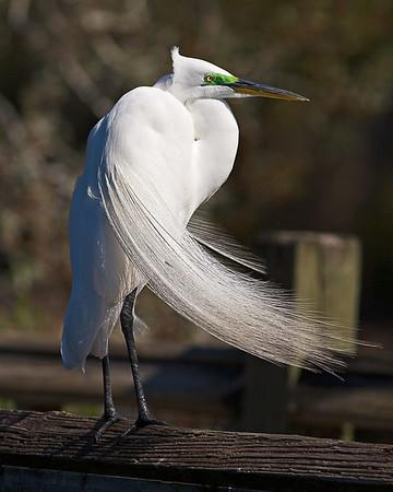 Great Egret at Gatorland, FL
