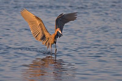 Reddish Egret, Merritt Island NWR, Florida, Feb 07