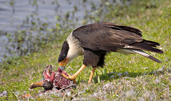 Crested Caracara eating a Northern Shoveler at Vierra Wetlands