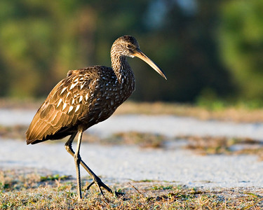 Limpkin at sunrise