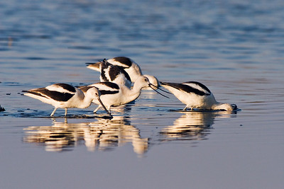 American Avocet at Merritt Island NWR, Florida, Feb 07