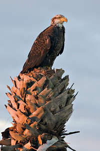 Juvenile Bald Eagle at sunrise