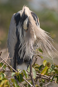 Great Blue Heron, Wakodahatchee Wetlands