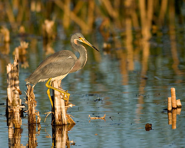 Tri-colored Heron at sunset