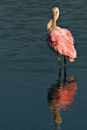 Roseate Spoonbill at Merritt Island NWR, Florida, Feb 07