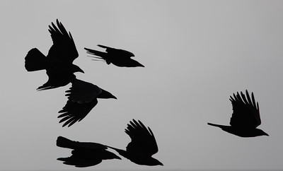 Silhouette of a murder of Crows