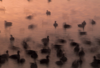 Birds swimming at dusk