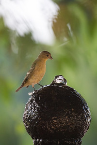 Finch on a fountain