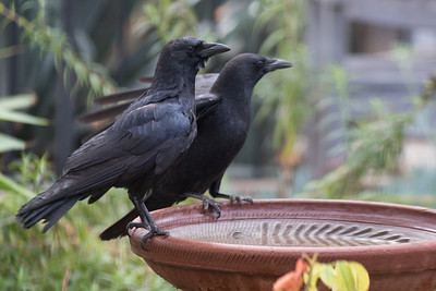 Crows on a bird bath