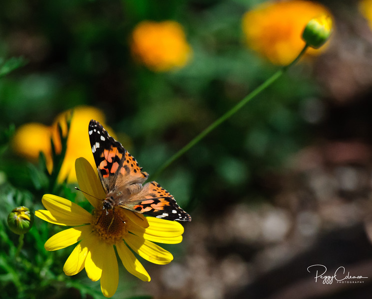 The Painted Lady and the Pull-Toy