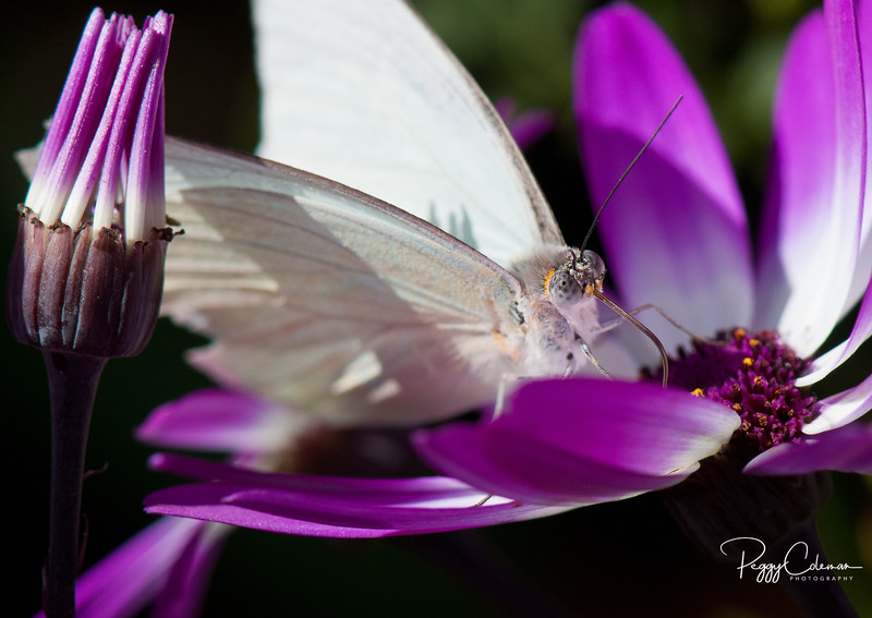 Texas White Butterfly