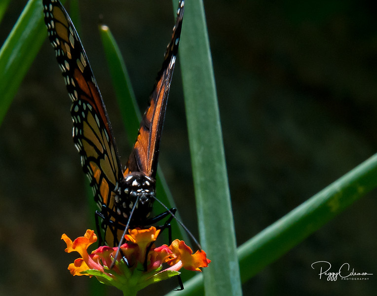 Monarch in a structured world!
