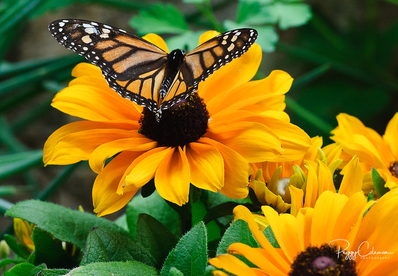 Monarch on a Chocolate Flower (name)