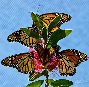Lotsa Monarchs