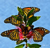 Monarch Butterflies : Monarch Butterflies - Desert Botanical Garden Butterfly Pavilion as well as Southwest gardens!