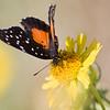 Crimson Patch Butterfly, Chlosyne janais, at Steve Bentsen's Dos Venadas ranch in South Texas.