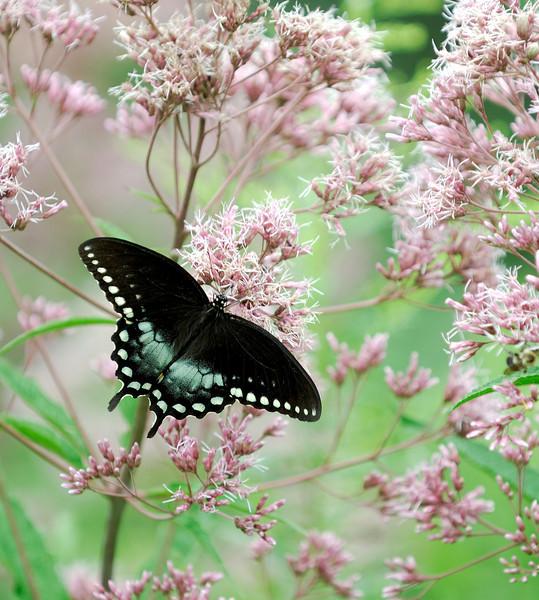 Butterfly near parking lot above Cedar Falls