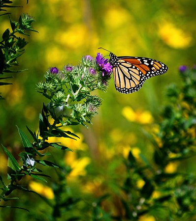 Butterflies at the Huntington Field 2021