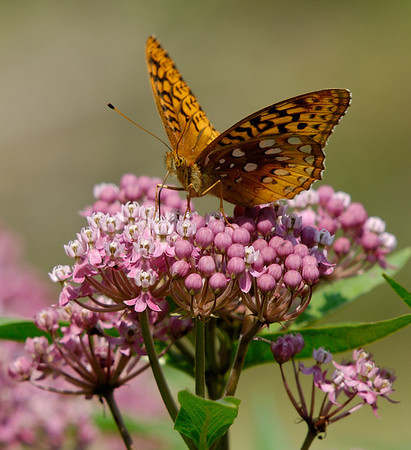 Butterfly - Cuyahoga Valley National Park
