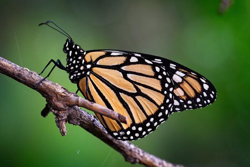 Monarch Migragtion 2021