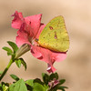 Cloudless Sulphur Butterfly, Phoebis sennae, feeding on Petunia flower at Mercer Arboretum in Spring, Texas.