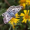 Common Checkered Skipper,  Pyrgus communis, near Fort Davis, Texas.