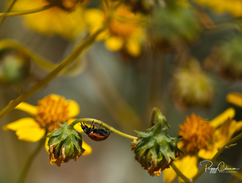 Angelina's Ladybug