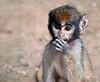 Patas Monkey Babe