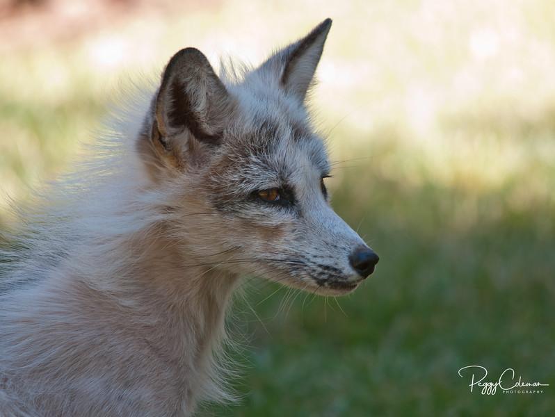 White- Red Fox, Bearizona - Williams, Arizona