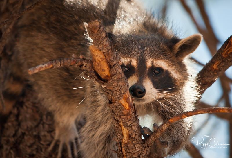 Raccoon, Bearizona - Williams, Arizona