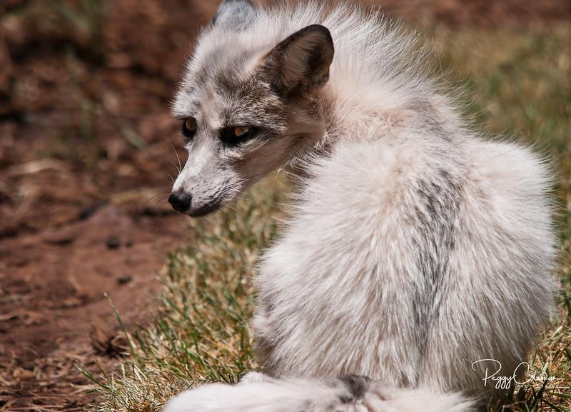 White Red Fox - Bearizona, Williams, Arizona