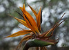 Bird of Paradise! A favorite tropical bloom, here in Arizona!