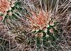 Toothpick Cactus