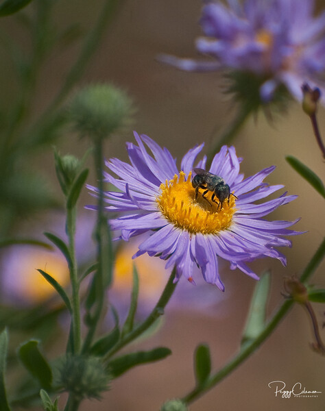 Wildflower Bakery Contest Winner 2010<br /> Hoary Tansy-aster