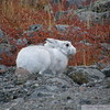 Hare amidst the fall colours on the arctic tundra