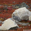 Hare starting to turn colour amidst the fall colours on the arctic tundra