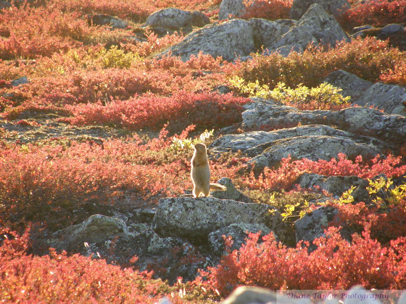 Ground squirrel amidst the fall colours on the arctic tundra