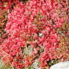 Bearberry leaves in their fall colours on the arctic tundra