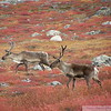 Caribou amidst the fall colours on the arctic tundra