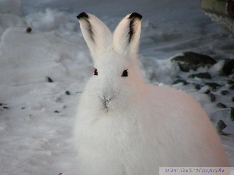 Hare in winter on the arctic tundra