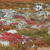 Red Lichen in fall colours on the arctic tundra