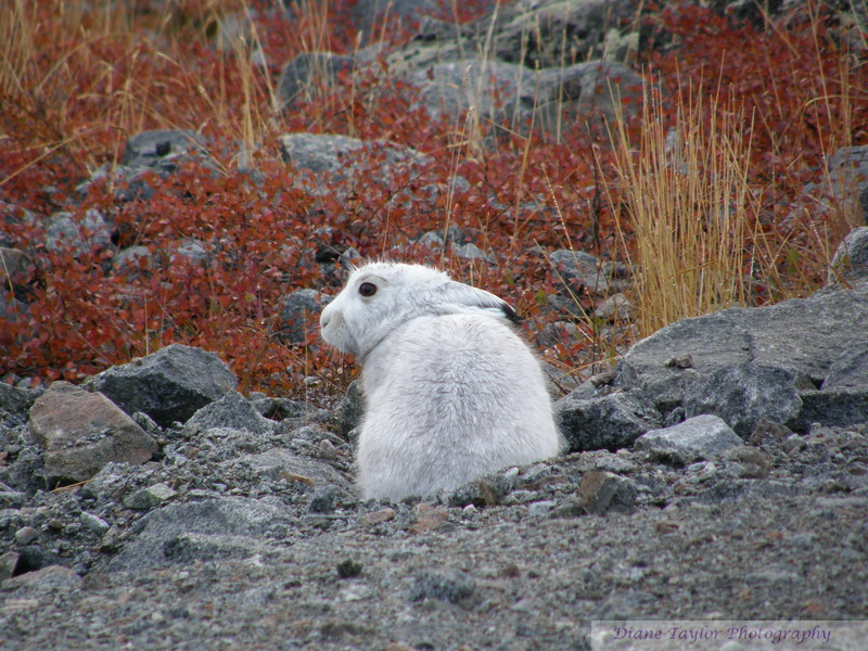 Hare almost completely turned colour amidst the fall colours on the arctic tundra