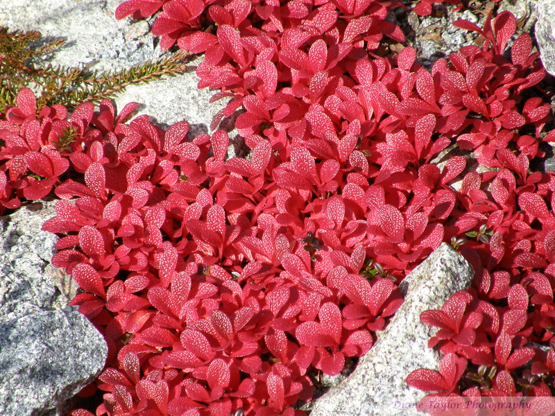 Bearberry leaves in the fall on the arctic tundra