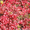 Bearberry leaves in their Fall colours in the Arctic tundra