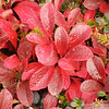 Bearberry leaves in fall on the arctic tundra