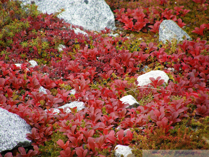 Bearberry leaves in fall colours on the arctic tundra