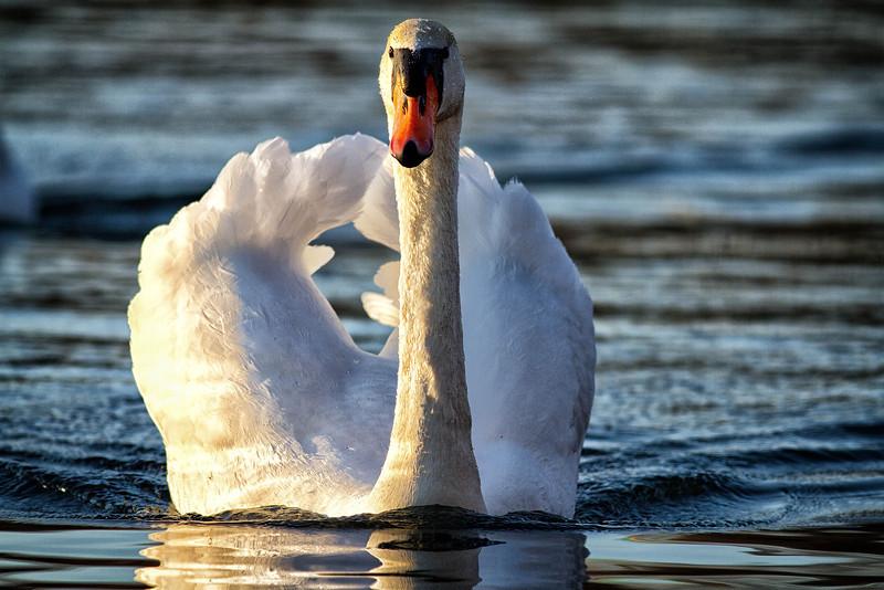 Town Lake swan