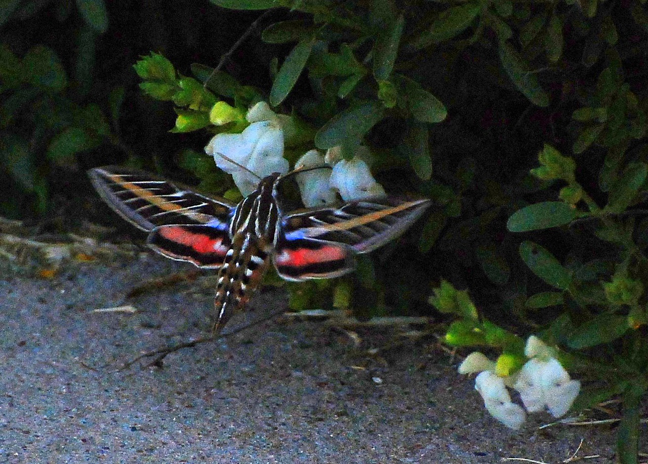 Another shot of the beautiful hummingbird moth whose wings are just as fast as a hummingbird's wings.